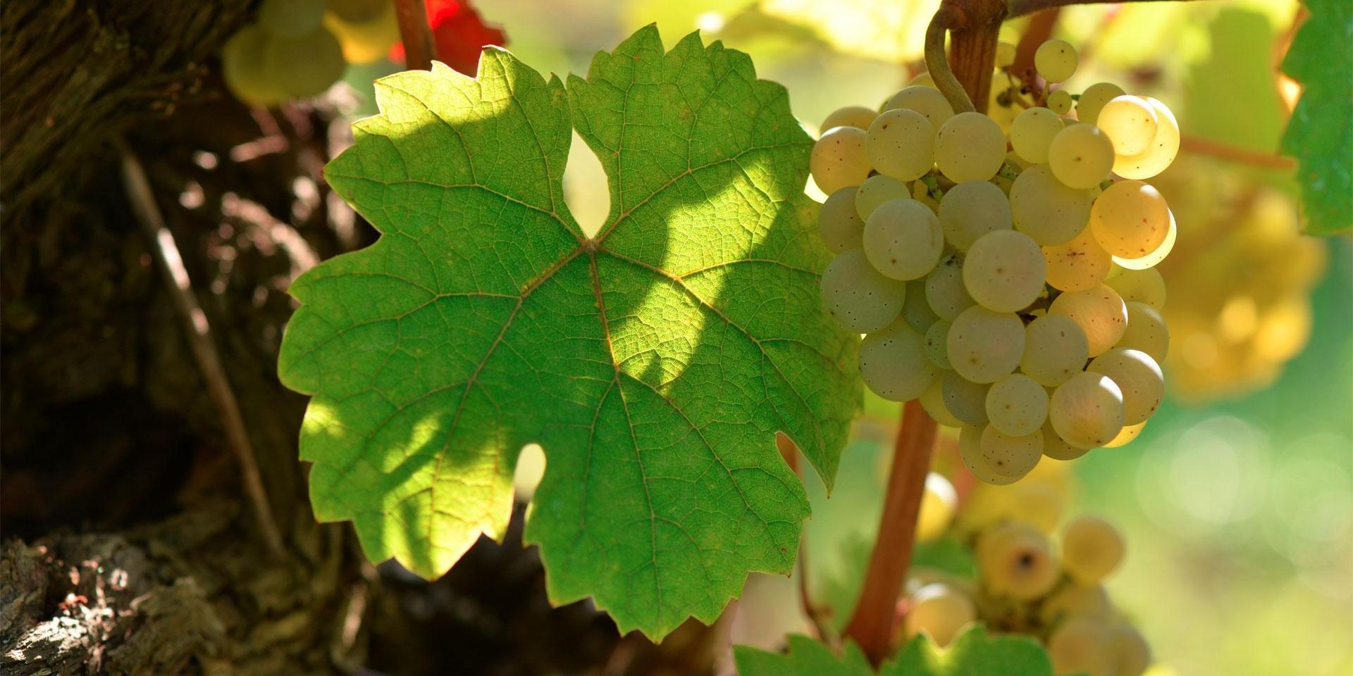 La vigne en croissance
